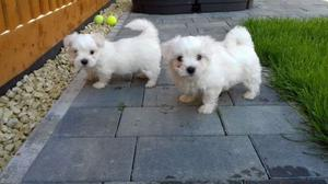 Registered Maltese Puppies FOR SALE ADOPTION