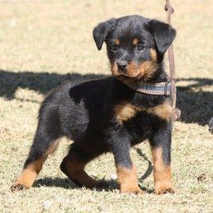 Rottweiler puppies available for adoptio FOR SALE ADOPTION
