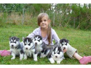 Very Cute Siberian Husky Puppies FOR SALE ADOPTION