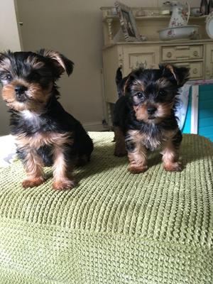 Yorkie Puppies For Sale FOR SALE ADOPTION