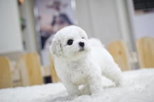 Bichon Frise Puppies For Adoption FOR SALE ADOPTION