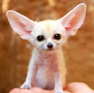 Cute Perfect Healthy Lovely Fennec Fox For Rehoming FOR SALE ADOPTION