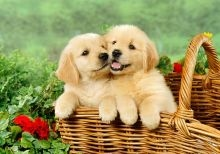 Golden Retriever Puppies For Adoption FOR SALE ADOPTION