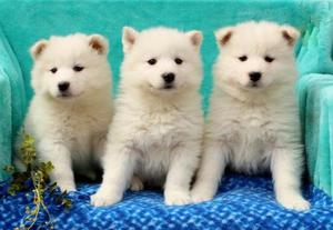 Samoyed Puppies For Adoption FOR SALE ADOPTION