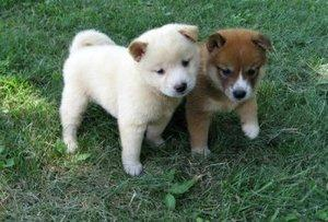 Shiba Inu Puppies Ready For A New Home FOR SALE ADOPTION