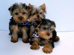 Yorkie Puppies For Adoption FOR SALE ADOPTION