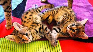 Adorable F1 Savannah male and female kittens for Sale FOR SALE ADOPTION