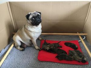 STUNNING KC REG PUG PUPPIES FOR SALE ADOPTION