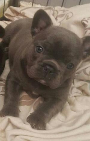 Active Female french bulldog babies FOR SALE ADOPTION