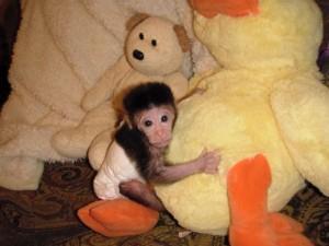 Adorable Baby Chimpanzee FOR SALE ADOPTION