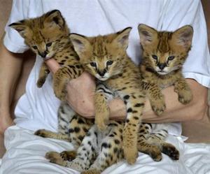Adorable Savannah Serval Ocelot Caracal Kittens  FOR SALE ADOPTION