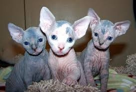 Beautiful Sphynx kittens  FOR SALE ADOPTION