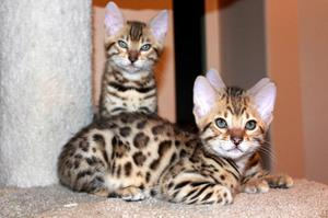 Stunning Rosetted Male and Female Bengal Cats  FOR SALE ADOPTION