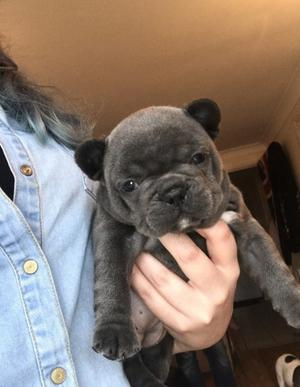 adorable french bulldog puppies FOR SALE ADOPTION