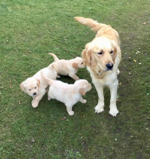 Attractive Golden Retriever Puppies For Re Homing FOR SALE ADOPTION