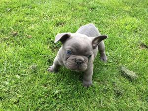 CKC French Bulldog Puppies Aavailable FOR SALE ADOPTION