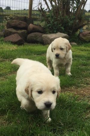 Cute Golden Retriever Puppies Now Available FOR SALE ADOPTION