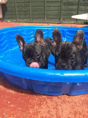 Fantastic litter of French Bulldog puppies FOR SALE ADOPTION