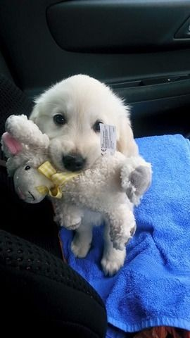 Home Raised Golden Retriever Puppies For Re Homing FOR SALE ADOPTION