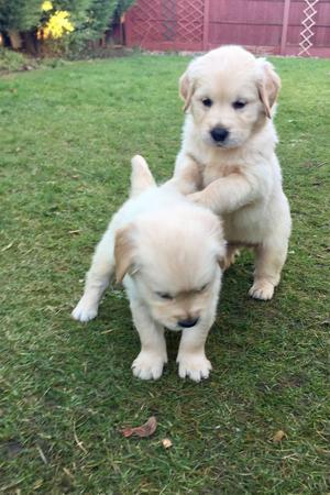 Purebred Golden Retriever Puppies For Adoption FOR SALE ADOPTION