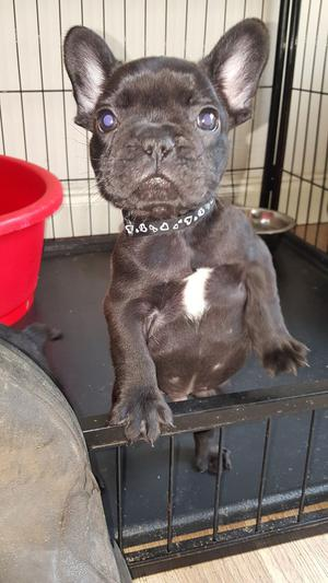 Registered French Bulldog puppies For Sale FOR SALE ADOPTION