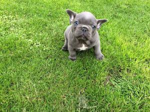 Stunning French Bulldog Puppies For Re Homing FOR SALE ADOPTION