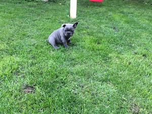 Stunning Litter French Bulldog Puppies Available FOR SALE ADOPTION