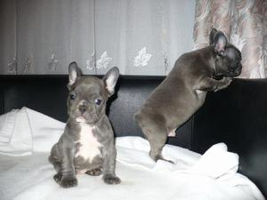Sweet French Bulldog Puppies For New Families FOR SALE ADOPTION