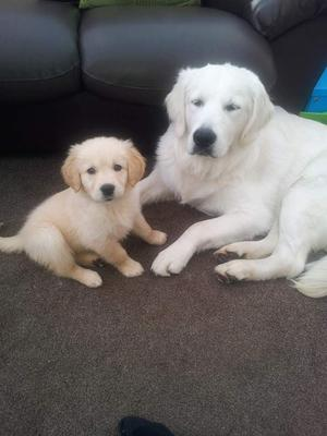 Top Quality Golden Retriever Puppies For Sale FOR SALE ADOPTION