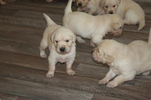 Two Gorgeous quality CKC Golden Retriever puppies Re Homing FOR SALE ADOPTION