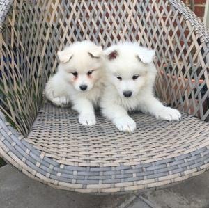 Charming Samoyed Puppies Ready FOR SALE ADOPTION