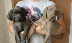 Courageous Male and Female Weimaraner puppies FOR SALE ADOPTION