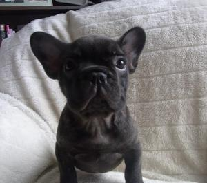 outstanding french bulldog puppies ready FOR SALE ADOPTION