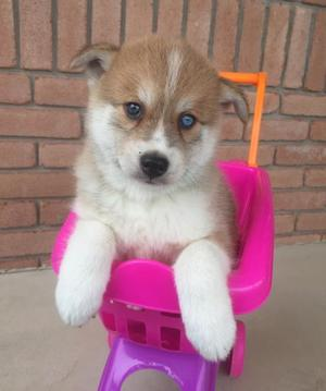 Pomsky Puppies For Adoption FOR SALE ADOPTION