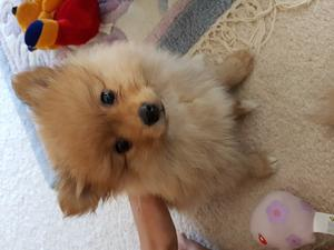 Teddy bear faced Pomeranian puppies FOR SALE ADOPTION
