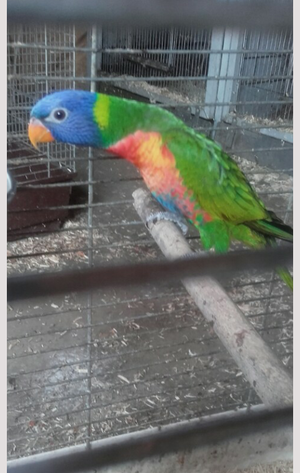 2 Stunning Young Rainbow Lorikeets For Sale FOR SALE ADOPTION