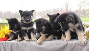German Shepherd Puppies For Adoption FOR SALE ADOPTION