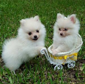 Pomeranian Puppies For Adoption FOR SALE ADOPTION