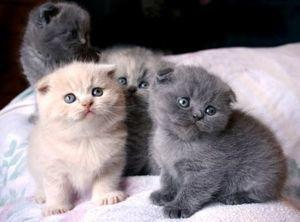 Scottish fold kittens for sale FOR SALE ADOPTION