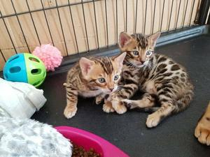 Bengal Kittens For Adoption FOR SALE ADOPTION
