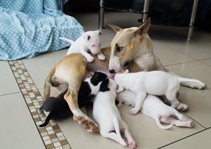 Bullybob English Bull Terrier Puppies Ready Now FOR SALE ADOPTION