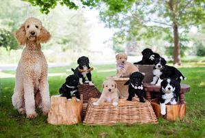 Doodle puppies 5 Aussiedoodle boys FOR SALE ADOPTION