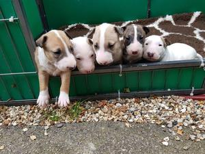 English Bullterrier Pups For Sale FOR SALE ADOPTION