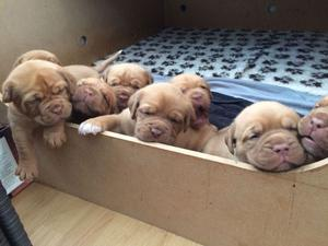 Kc Registered Dogue De Bordeaux Puppies For Sale FOR SALE ADOPTION