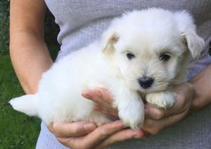 Adorable Cotonoodle Puppy FOR SALE ADOPTION
