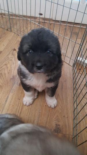 Caucasian Ovcharka Shepherd Puppy FOR SALE ADOPTION