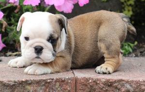 Affectionate English Bulldog puppies for affectionte home FOR SALE ADOPTION