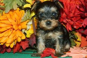Affectionate Yorkshire Terrier puppies for affectionate home FOR SALE ADOPTION