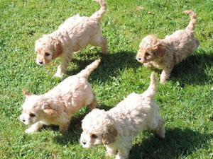 F1 Cavapoo Puppies For Sale Ready Now FOR SALE ADOPTION