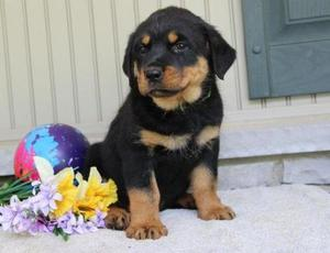 Pretty Rottweiler puppies for pretty home FOR SALE ADOPTION
